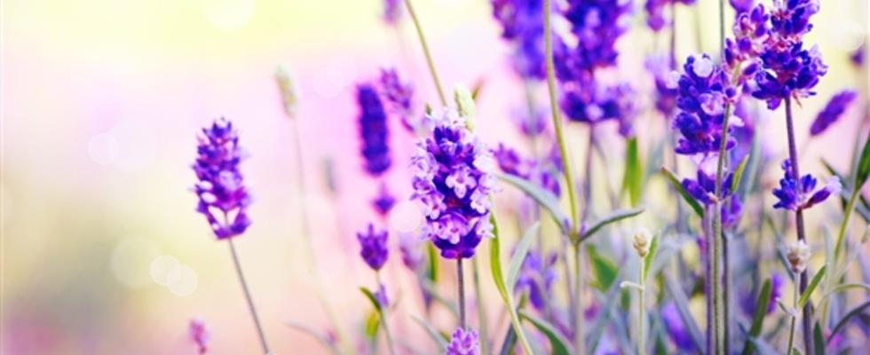 Lavendel der Alleskönner